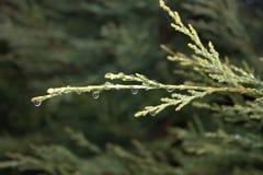 Ramifique con la rama del verde del día lluvioso del otoño de las gotas de agua en el fondo borroso Foto de archivo libre de regalías