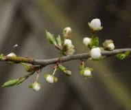 Ramifique con las flores Fotos de archivo