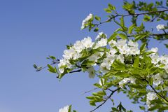 Ramifique con las flores blancas contra el cielo azul Flores blancas de la primavera de un Apple-árbol en un primer del parque Foto de archivo