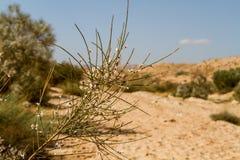 Ramifique con las flores blancas en desierto del Néguev Fotos de archivo