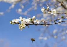 Ramifique con las flores blancas en un fondo del cielo azul, volando la abeja Foto de archivo libre de regalías