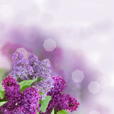 Ramifique con las flores de la lila foto de archivo
