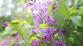 Ramifique con las flores de la lila del resorte almacen de metraje de vídeo