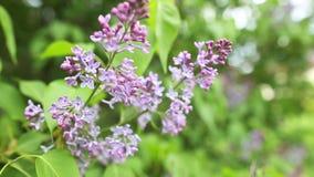 Ramifique con las flores de la lila del resorte metrajes