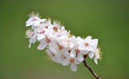 Ramifique con las flores del resorte Fotos de archivo