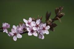 Ramifique con las flores del resorte Imágenes de archivo libres de regalías