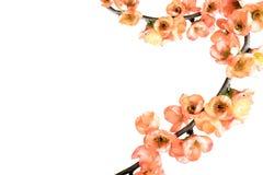 Ramifique con las flores rosadas en el fondo blanco Foto de archivo libre de regalías