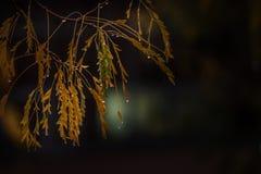 Ramifique con las hojas amarillas en gotas de agua en un fondo oscuro tiempo lluvioso del otoño Fotos de archivo libres de regalías