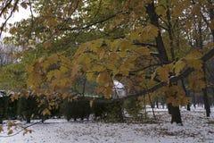 Ramifique con las hojas de arce amarillas en el fondo de la primera nieve en el parque del otoño en noviembre Fotos de archivo libres de regalías