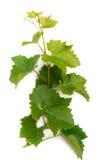Ramifique con las hojas de la uva Fotos de archivo