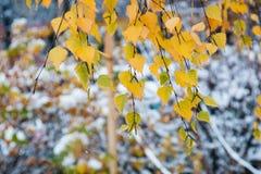 Ramifique con las hojas de otoño amarillas de un abedul en un fondo borroso de la primera nieve Imágenes de archivo libres de regalías