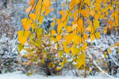 Ramifique con las hojas de otoño amarillas de un abedul en un fondo borroso de la primera nieve Fotografía de archivo