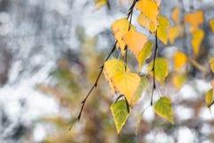 Ramifique con las hojas de otoño amarillas de un abedul en un fondo borroso de la primera nieve Foto de archivo libre de regalías