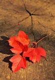Ramifique con las hojas de otoño rojas en un fondo de madera Foto de archivo