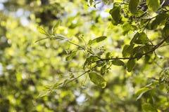 Ramifique con las hojas del euonymus de la planta Imagen de archivo libre de regalías