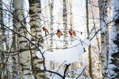 Ramifique con las hojas en nieve Fotos de archivo
