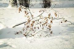 Ramifique con las hojas en nieve Imágenes de archivo libres de regalías