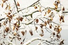 Ramifique con las hojas en nieve Imagen de archivo libre de regalías