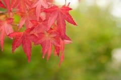Ramifique con las hojas rojas Fotografía de archivo libre de regalías