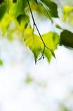Ramifique con las hojas verdes Fotos de archivo