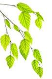 Ramifique con las hojas verdes Fotografía de archivo libre de regalías