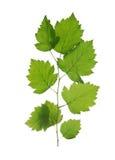 Ramifique con las hojas verdes apacibles foto de archivo