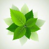 Ramifique con las hojas verdes frescas Fotografía de archivo