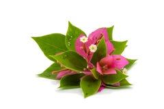 Ramifique con las hojas y las flores aisladas en el fondo blanco Ramo aislado en el fondo blanco Fotos de archivo