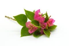 Ramifique con las hojas y las flores aisladas en el fondo blanco Ramo aislado en el fondo blanco Imagenes de archivo