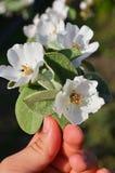 Ramifique con las inflorescencias de la manzana en el man& x27; mano de s Foto de archivo libre de regalías