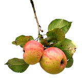 Ramifique con las manzanas aisladas Fotografía de archivo