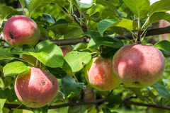Ramifique con las manzanas rojas Imagen de archivo libre de regalías
