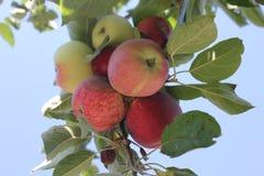 Ramifique con las manzanas rojas y verdes fotografía de archivo