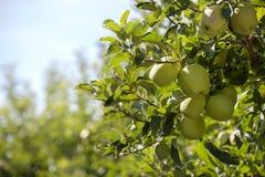 Ramifique con las manzanas verdes en una huerta Imagen de archivo