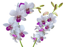 Ramifique con las orquídeas de las flores blancas Fotos de archivo