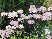 Ramifique con las pequeñas inflorescencias y hojas blancas enormes del verde contra la perspectiva de árboles altos Fotografía de archivo libre de regalías