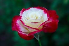 Ramifique con las rosas florecientes del brote, flor en jardín Imagenes de archivo