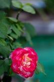 Ramifique con las rosas florecientes del brote, flor en jardín Foto de archivo