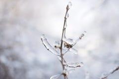 Ramifique con los brotes en hielo Imágenes de archivo libres de regalías