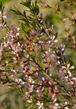 Ramifique con los flores rosados del árbol de almendra de florecimiento Imagenes de archivo