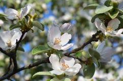 Ramifique con los flores y las hojas de la manzana Imágenes de archivo libres de regalías