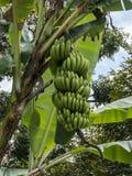 Ramifique con los plátanos verdes en árbol de plátano Imagen de archivo libre de regalías