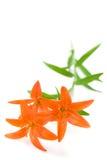 Ramifique con tres flores del lirio Imagenes de archivo