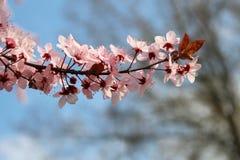 Ramifique en la floración Fotografía de archivo