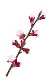 Ramifique nas flores fotografia de stock