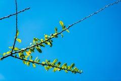Ramifique sobre el cielo azul Foto de archivo libre de regalías
