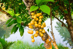 Ramiflora Baccaurea Στοκ φωτογραφίες με δικαίωμα ελεύθερης χρήσης