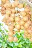 Ramiflora de Baccaurea foto de archivo