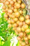 Ramiflora de Baccaurea imagen de archivo