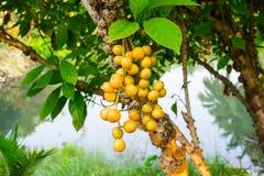 Ramiflora de Baccaurea fotos de stock royalty free